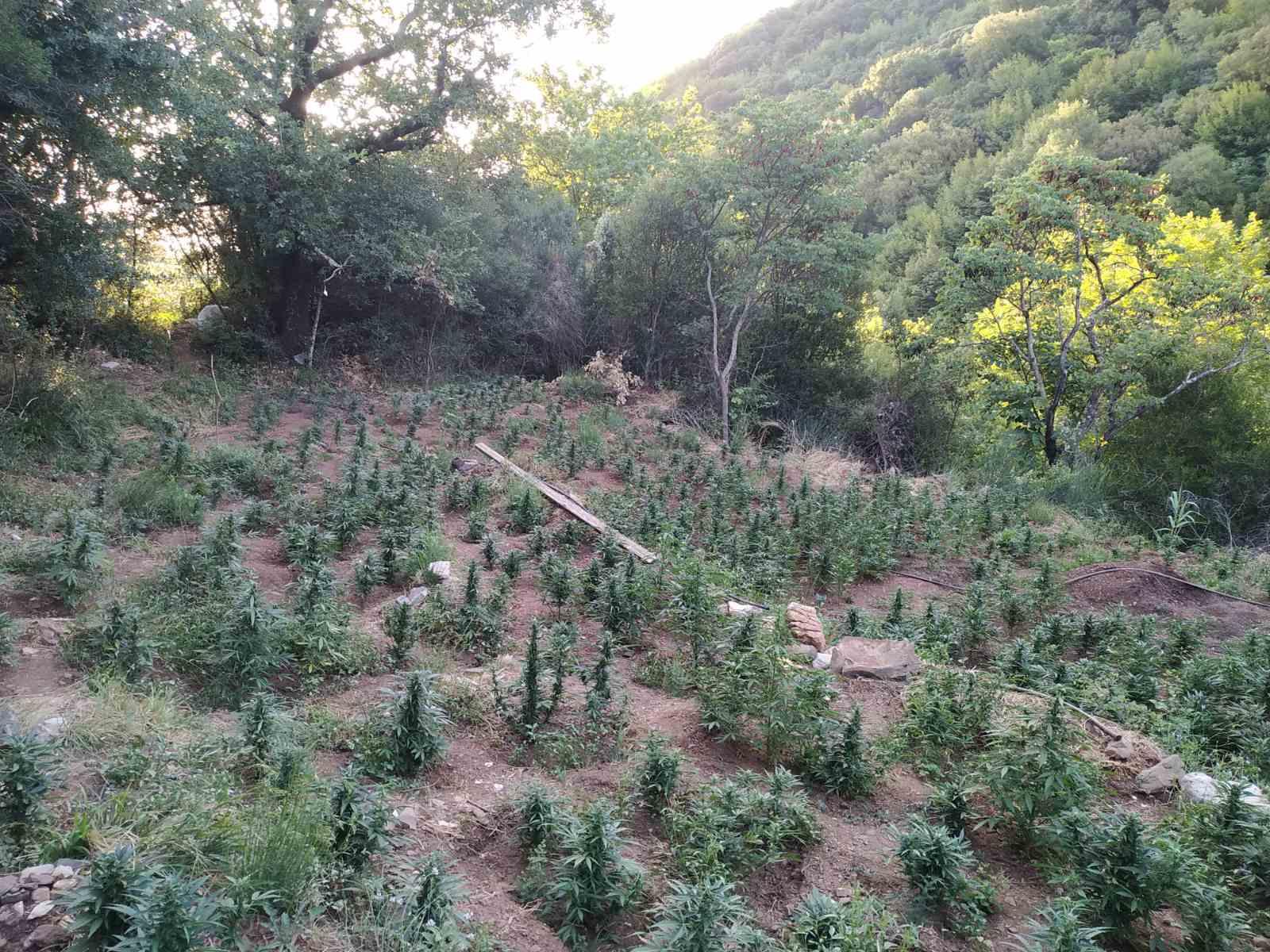 28-6-2021 Εντοπίστηκε μεγάλη οργανωμένη φυτεία κάνναβης, με (4.325) δενδρύλλια και φυτά σε δύσβατη δασική περιοχή της Ανδρίτσαινας (10) (1)