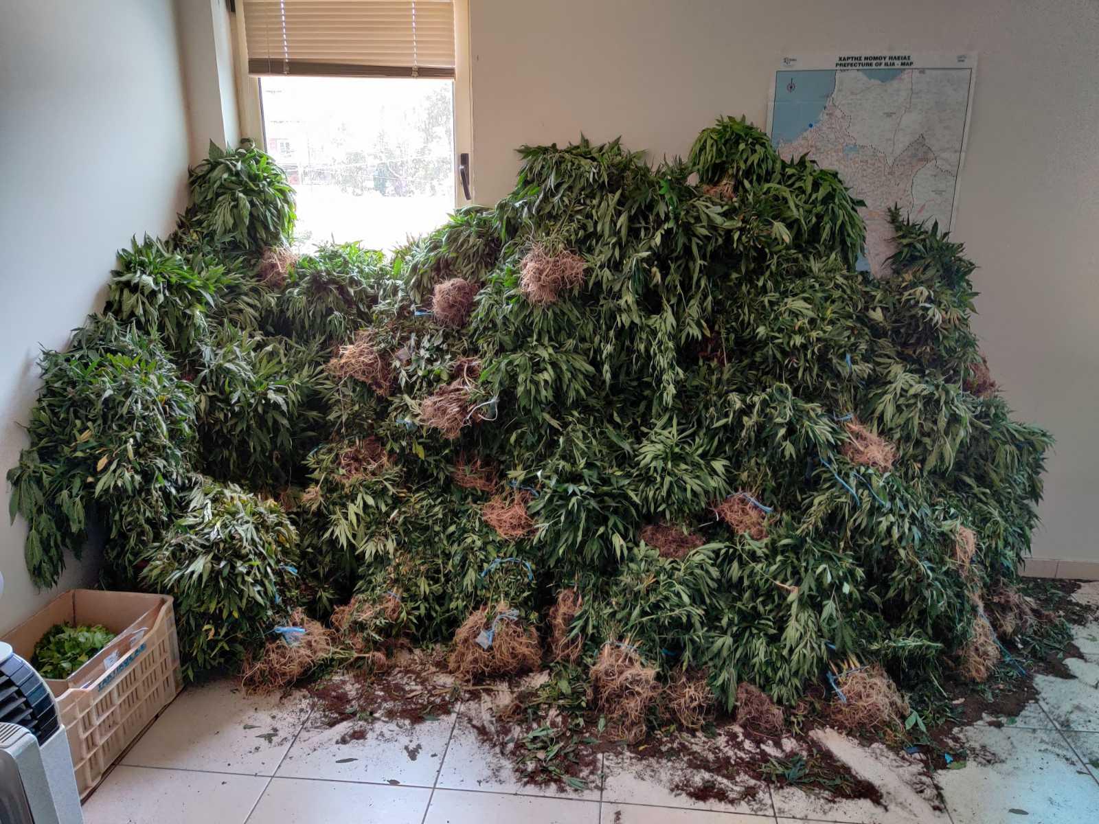 28-6-2021 Εντοπίστηκε μεγάλη οργανωμένη φυτεία κάνναβης, με (4.325) δενδρύλλια και φυτά σε δύσβατη δασική περιοχή της Ανδρίτσαινας (3) (1)