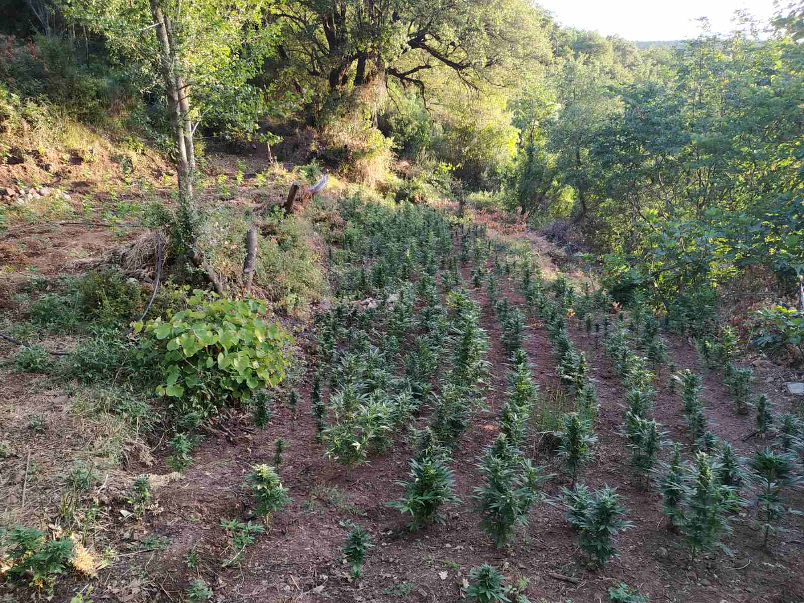 28-6-2021 Εντοπίστηκε μεγάλη οργανωμένη φυτεία κάνναβης, με (4.325) δενδρύλλια και φυτά σε δύσβατη δασική περιοχή της Ανδρίτσαινας (6)