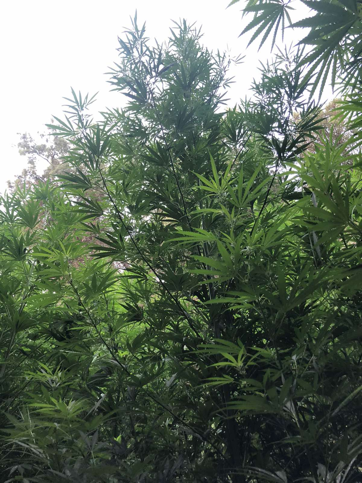 19-7-2021 Συνελήφθησαν δύο καλλιεργητές ναρκωτικών σε περιοχή της Πάτρας (4)